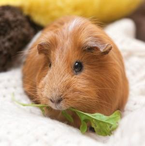 A guinea pig eating a leaf.