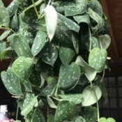 Identifying a Houseplant - trailing plant with sage green leaves with white or cream specks