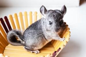 Pet Chinchillas - chinchilla in a wooden slat bowl