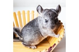 Pet Chinchillas - chinchilla in a wooden slat bowl
