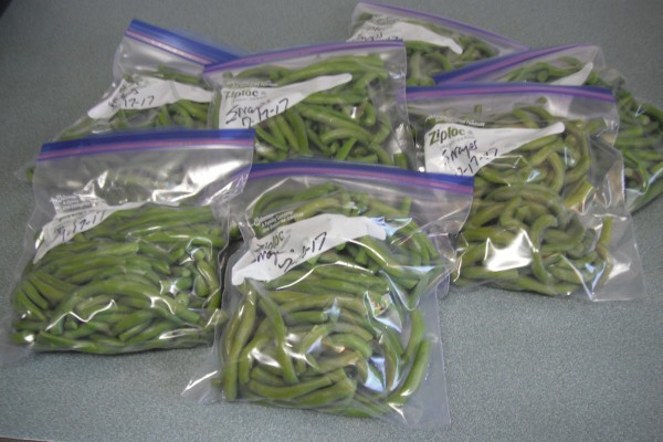 A batch of blanched string beans being prepared for the freezer.