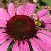 Bee on an Echinacea - honey bee on purple coneflower
