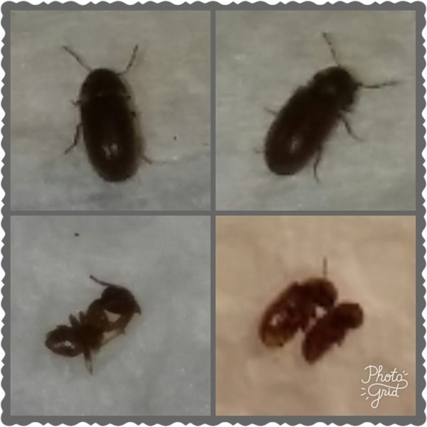 Here s a better picture of those bugs  I spray them and their starting to  die. Getting Rid of Bugs in the Kitchen   ThriftyFun