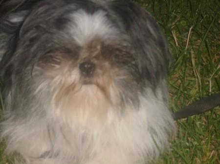 Oreo (Shih Tzu) - black, gray, and white fluffy haired dog