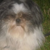 Oreo (Shih Tzu) - black, gray, and white fluffy haired dog