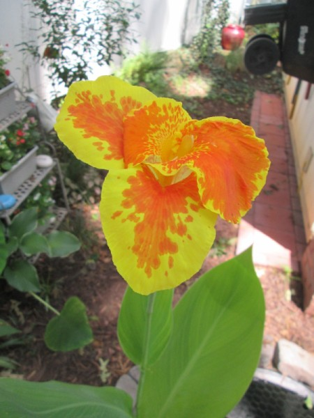 My First Aquatic Canna - orange and yellow canna lily bloom