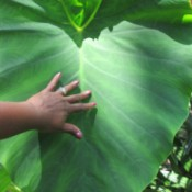 Growing Mammoth Elephant Ears - woman's hand on very large leaf