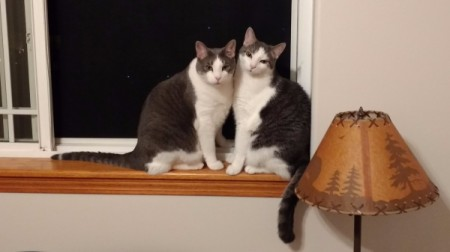 Sarge and Chase (Domestic American Shorthair) - sitting on the window sill