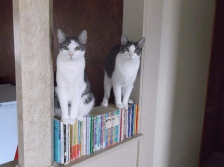 Sarge and Chase (Domestic American Shorthair) - sitting on books