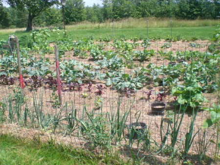 A vegetable garden in summer.