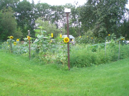 A garden with yellow sunflowers.