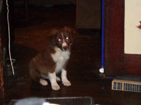 Mocha (Australian Shepherd/Cowdog) - as a puppy