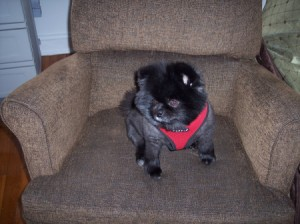 Older Dog Drinking A Lot and Peeing Inside - small black and gray dog on a chair