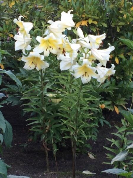 Easter Lillies (Butchart Gardens Canada) - several lilies at garden