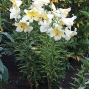 Easter Lillies (Butchart Gardens Canada) - several lilies at garden