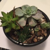 Identifying a Houseplant - dish planted with succulents