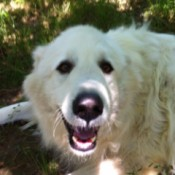 Jonah (Pyrenean Mountain Dog)