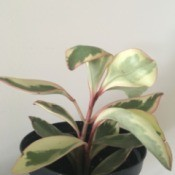 Identifying a Houseplant - pale green and cream houseplant