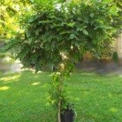 Maintenance Pruning For Wisteria Standard - standard wisteria