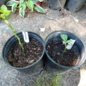 Testing Rose Cuttings For Roots - planting rooted cuttings