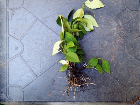 A cutting of forsythia with roots, ready for planting.