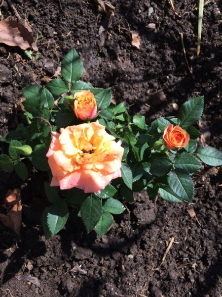 Apricot Miniature Rose - pretty orangish pink and yellow rose
