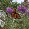 Viceroy Butterfly - on butterfly bush