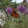 Viceroy Butterfly - on butterfly bush