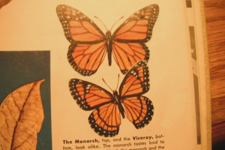 Viceroy Butterfly - encyclcopedia page