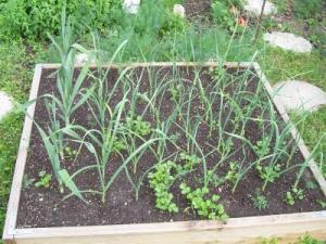 RE: Garden: Growing Garlic In A Small Space