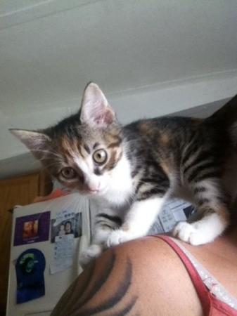 Sammy (Kitten with Tabby Markings)