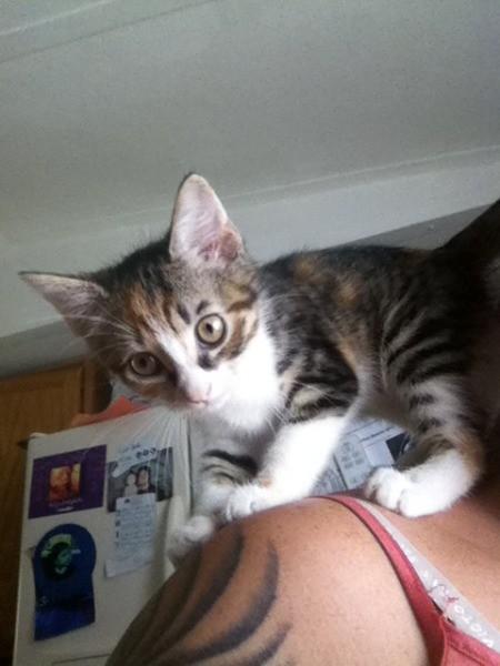 A tabby kitten.