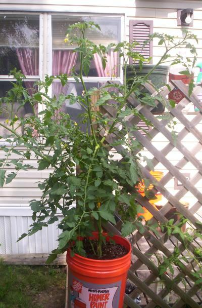 growing tomatoes in containers thriftyfun. Black Bedroom Furniture Sets. Home Design Ideas