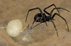 RE: Getting Rid of Black Widow Spiders