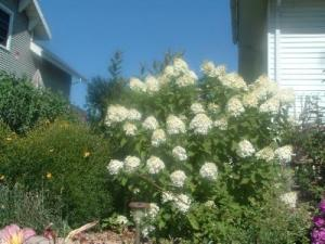 RE: Garden: Limelight Hydrangea For Northern Climates