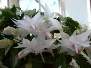 RE: Caring For A Christmas Cactus