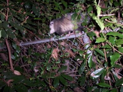 Getting Rid of Opossums   ThriftyFun