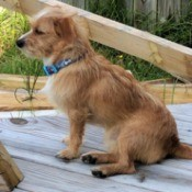What Breed Is My Dog? - brown and white terrier mix