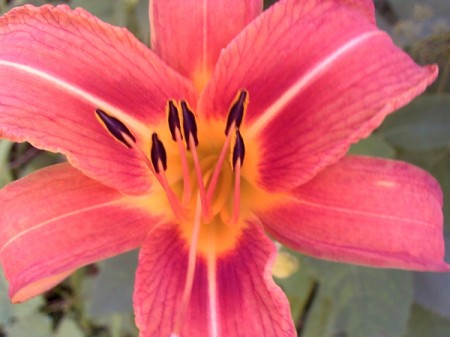 A lily in bloom, along a walking trail.