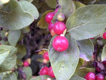 Red berries, along a walking trail.