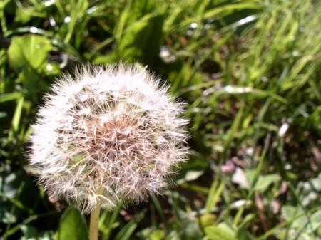 A flower's seedhead, along a walking trail.