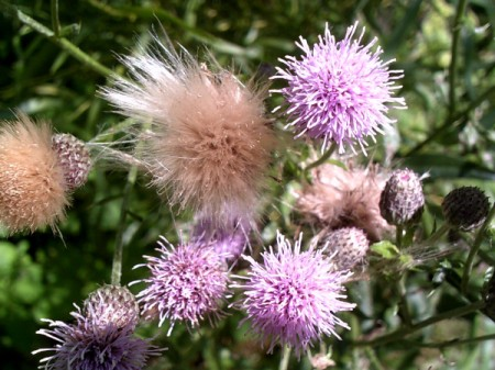 Flowers' seedheads, along a walking trail.