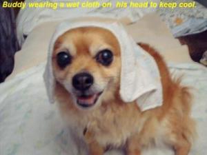 RE: Buddy (Pomeranian-Chihuahua)