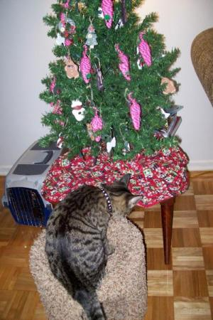 RE: Our Cat Won't Leave The Christmas Tree Alone