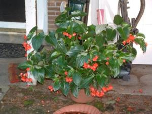RE: Begonias Not Blooming