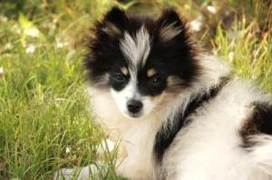RE: Training Pomeranians
