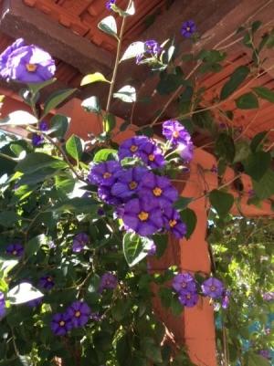 Identifying Garden Plants - purple flowering plant