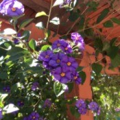 Identifying Garden Plants - purple flowering plant