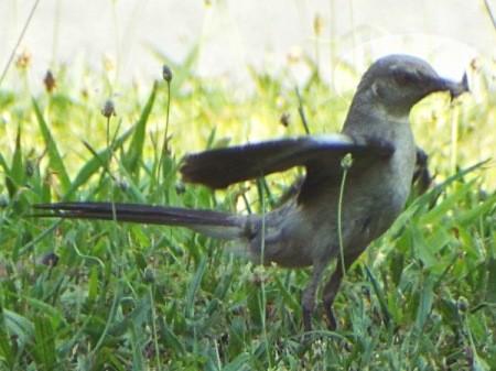 A close up of a mockingbird walking on grass.
