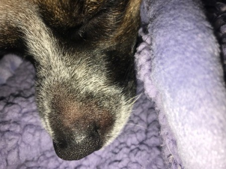 Hard Bump on Dog's Nose - bump on side of nose